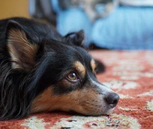 元保護犬のオスカーの画像